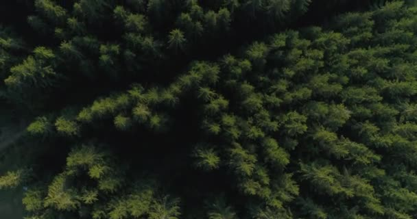 fly over dense pine forest, plan from above