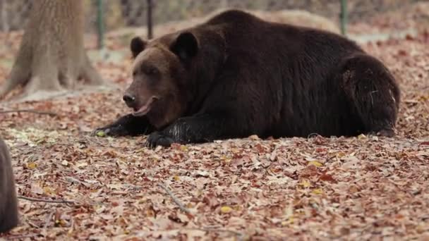 A huge brown bear lies on the grass and looks at the camera. Autumn 2019