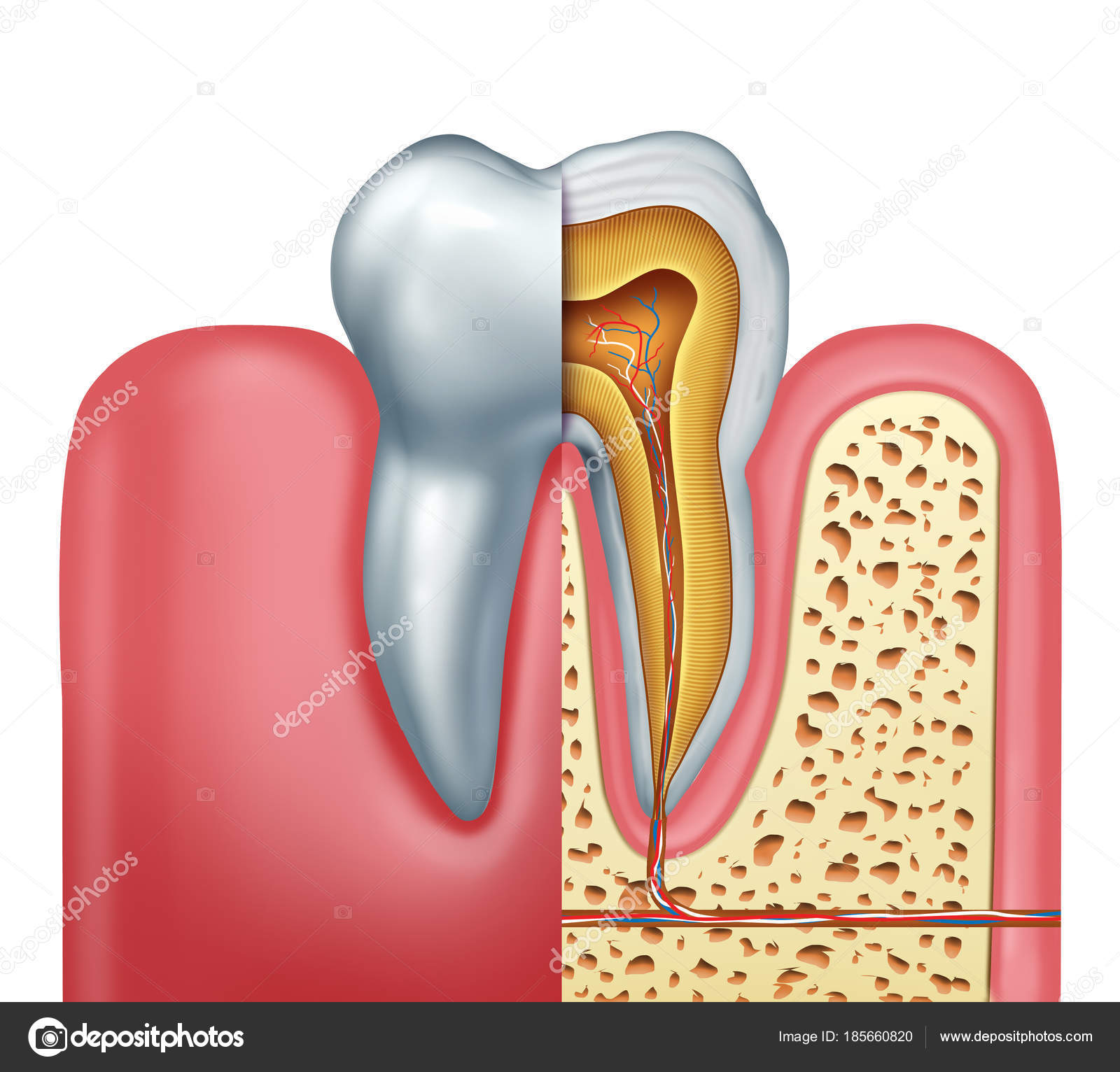 Human Tooth Anatomy Concept — Stock Photo © lightsource #185660820