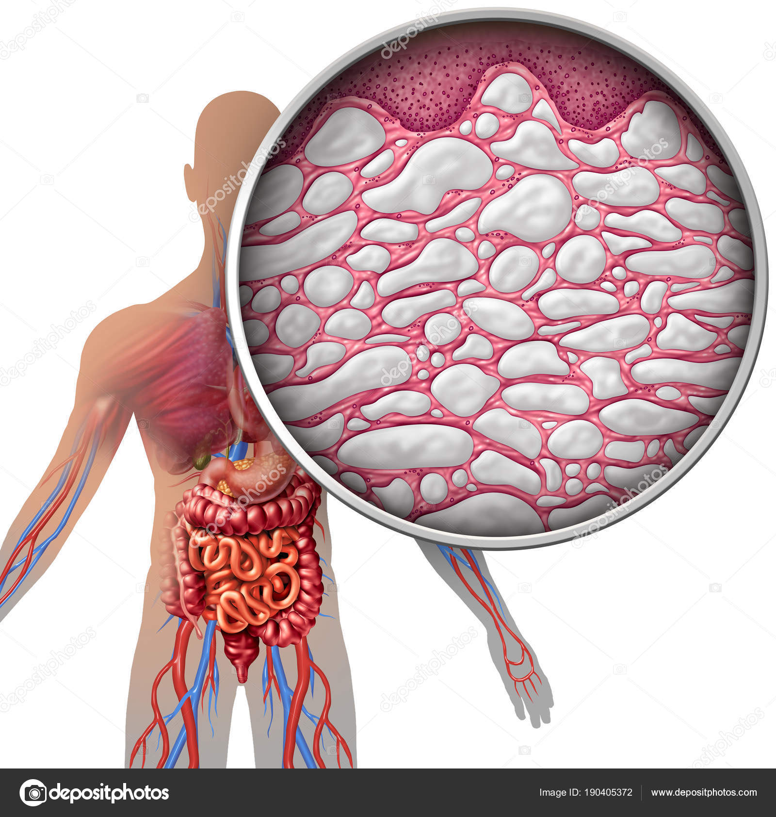 Interstitium Human Body Anatomy — Stock Photo © lightsource #190405372