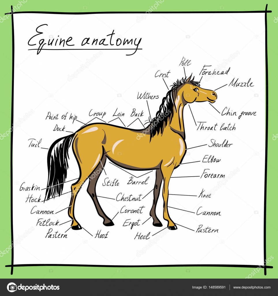 Parts of horse. Equine anatomy. Equestrian scheme with text. — Stock ...