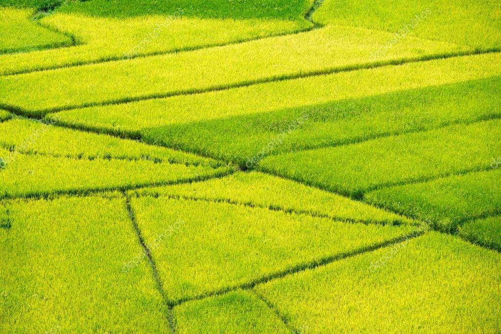 Yellow rice field