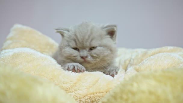 Lop-eared British kitten falling asleep on a pillow, blanket.