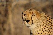 Portrét hlavy gepard