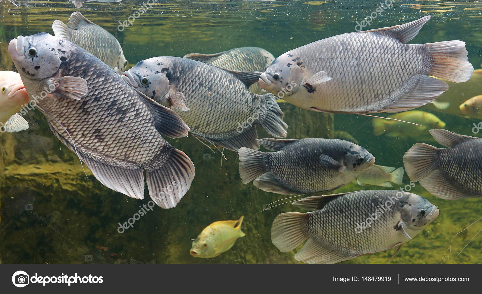 Vissen In Vijver : Goerami vissen in een vijver zwemmen u stockfoto civic dm