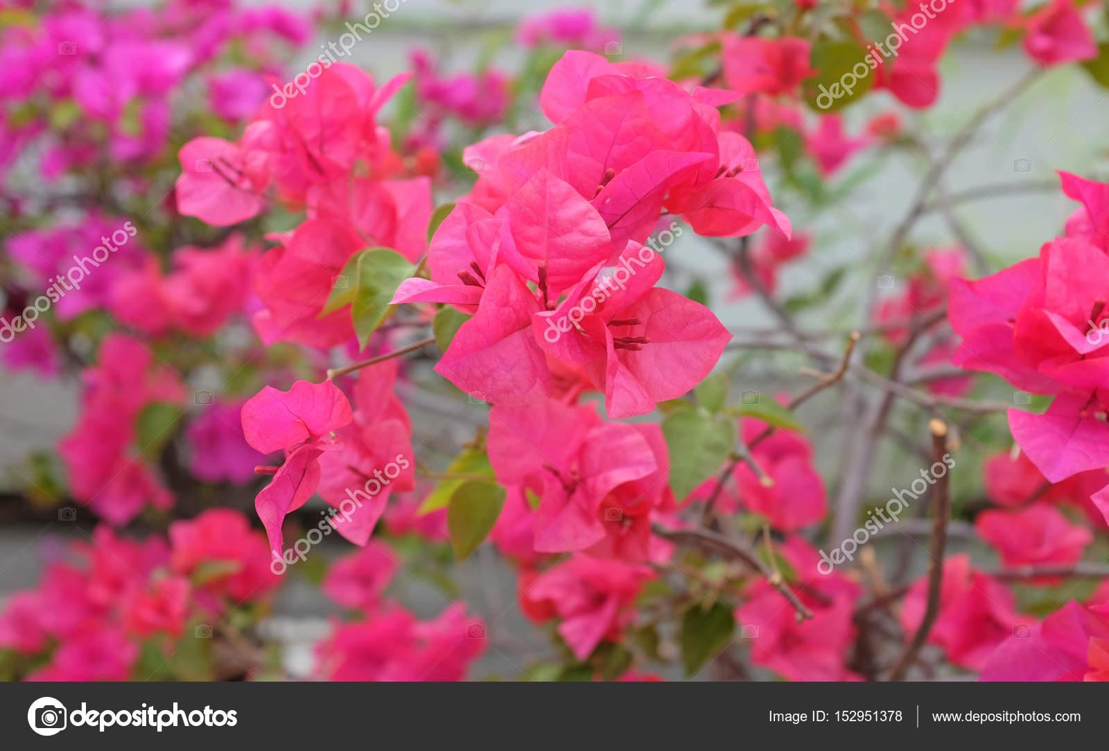 Bougainvillea Paper Flower In Pink Color Against Blur Garden Stock