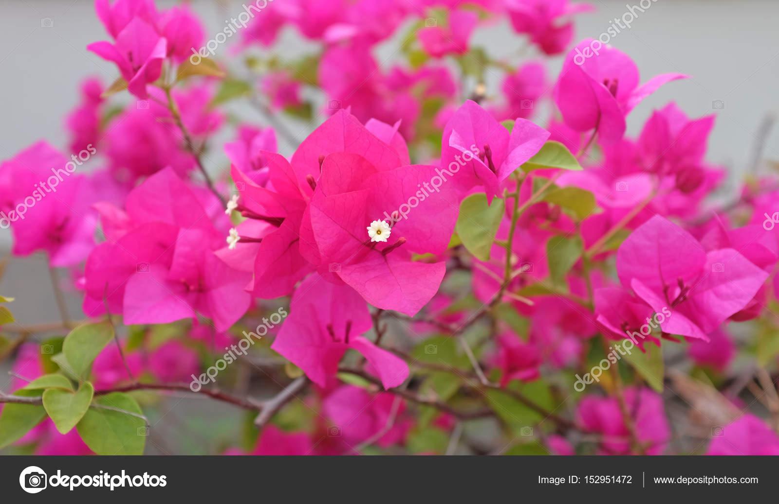 Bougainvillea paper flower in pink color against blur garden stock bougainvillea paper flower in pink color against blur garden photo by civicdmhotmail mightylinksfo