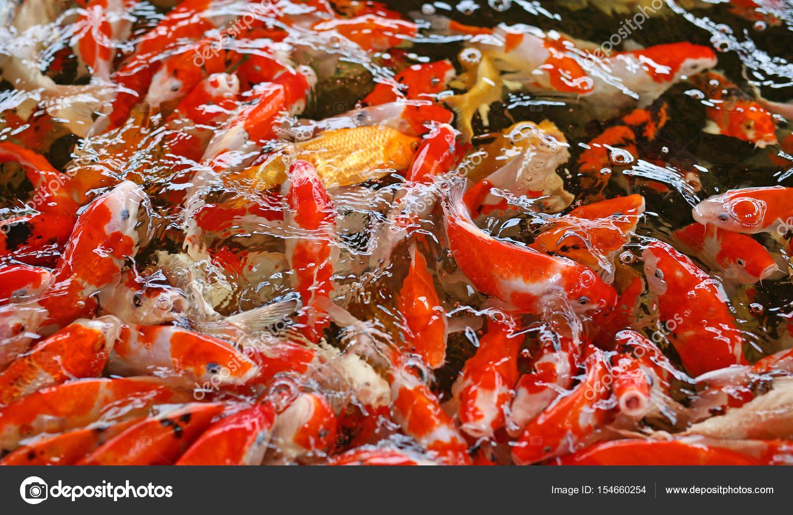 Koi Carps Fish Japanese swimming (Cyprinus carpio) beautiful color ...