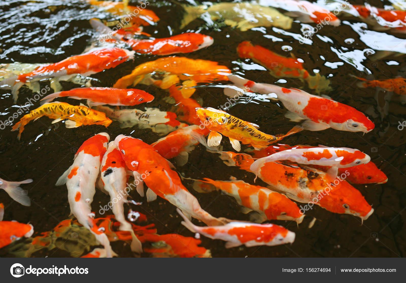 Koi carpas pescados japoneses nataci n cyprinus carpio for Alimento para carpas koi