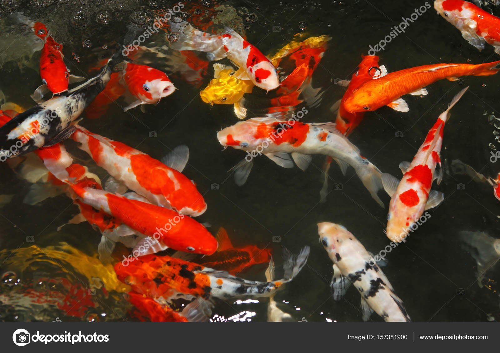 Feeding Koi fish with milk bottle in farm — Stock Photo © civic_dm ...