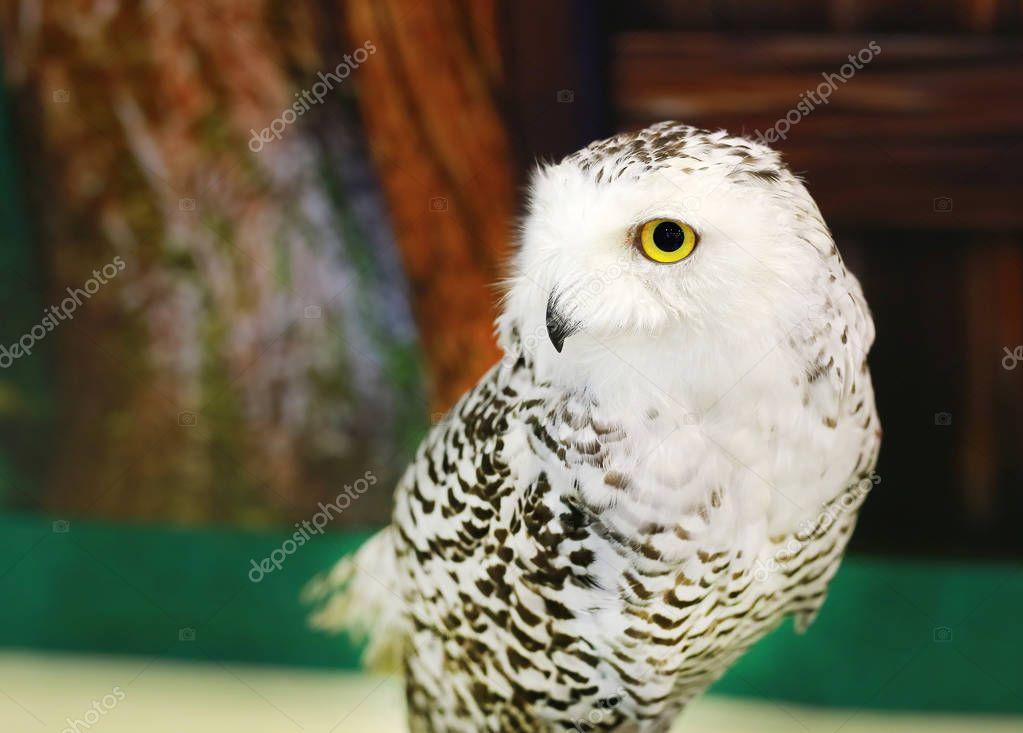 White eagle Owl/An eagle owl