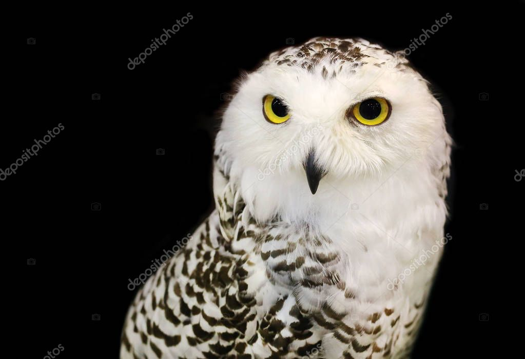 White eagle Owl/An eagle owl isolated on black