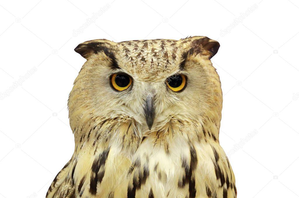 Eagle Owl on white background.