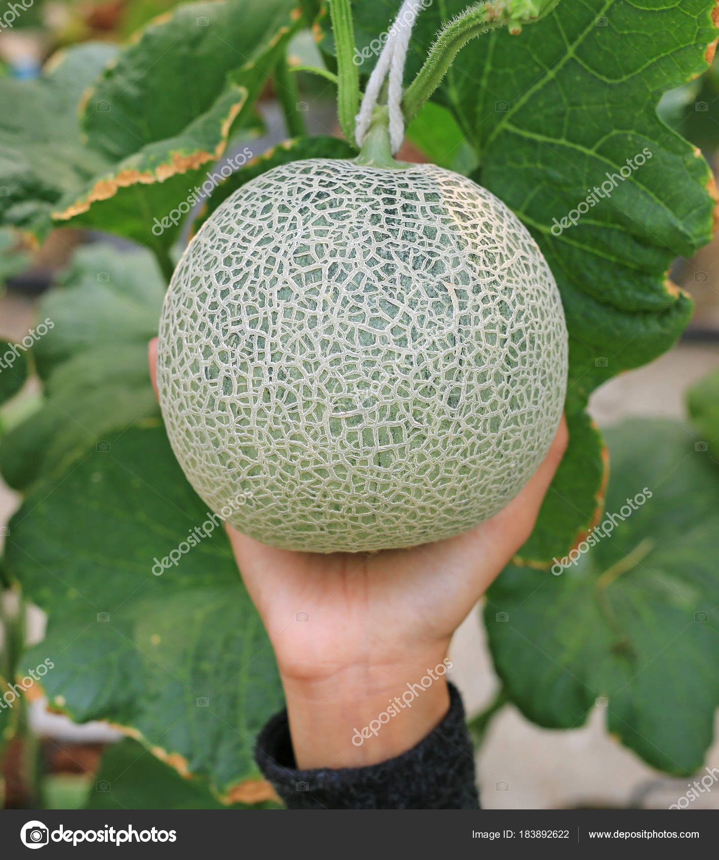 Woman Hand Holding Melon Greenhouse Melon Farm Stock Photo C Civic Dm Hotmail Com 183892622 View recipe this link opens in a new tab. https depositphotos com 183892622 stock photo woman hand holding melon greenhouse html
