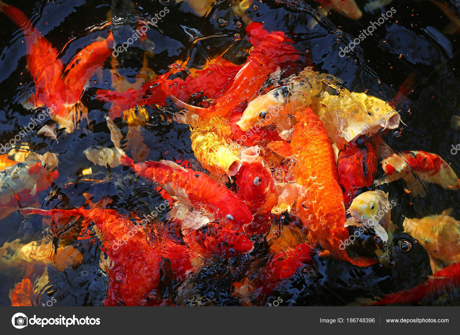 Colorful Koi Fish Pond Swimming Gracefully — Stock Photo © civic_dm ...
