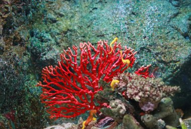 Corals in aquarium tank