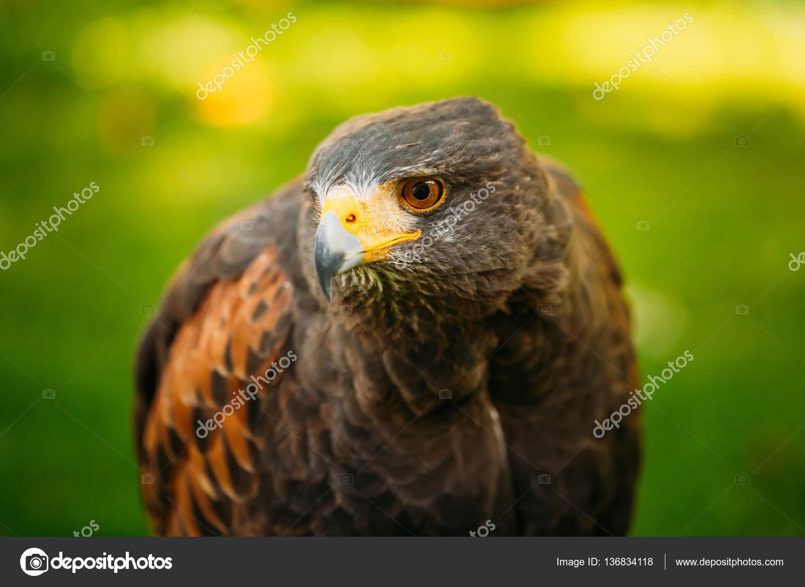 Μεγάλο πουλί Ματ