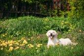 Lustige junge glücklich Labrador Retriever sitzend In Grass und Yel