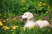 Funny Young Happy Labrador Retriever Sitting In Grass And In Yellow