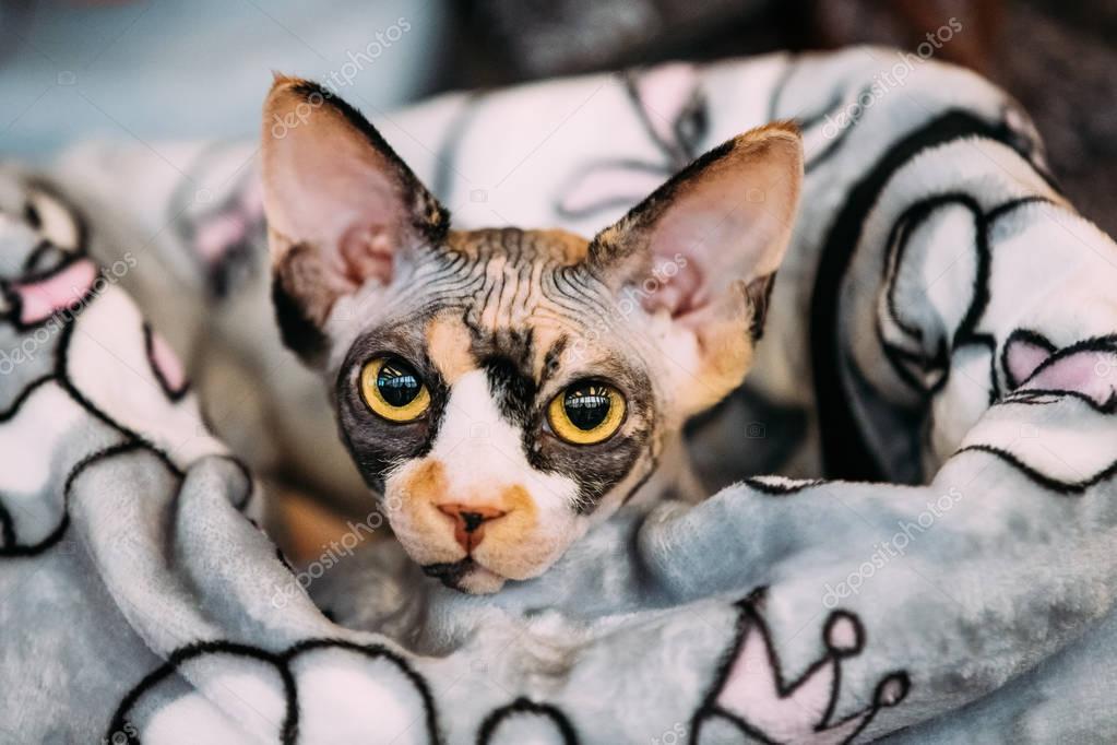 těsné plešaté kočičky
