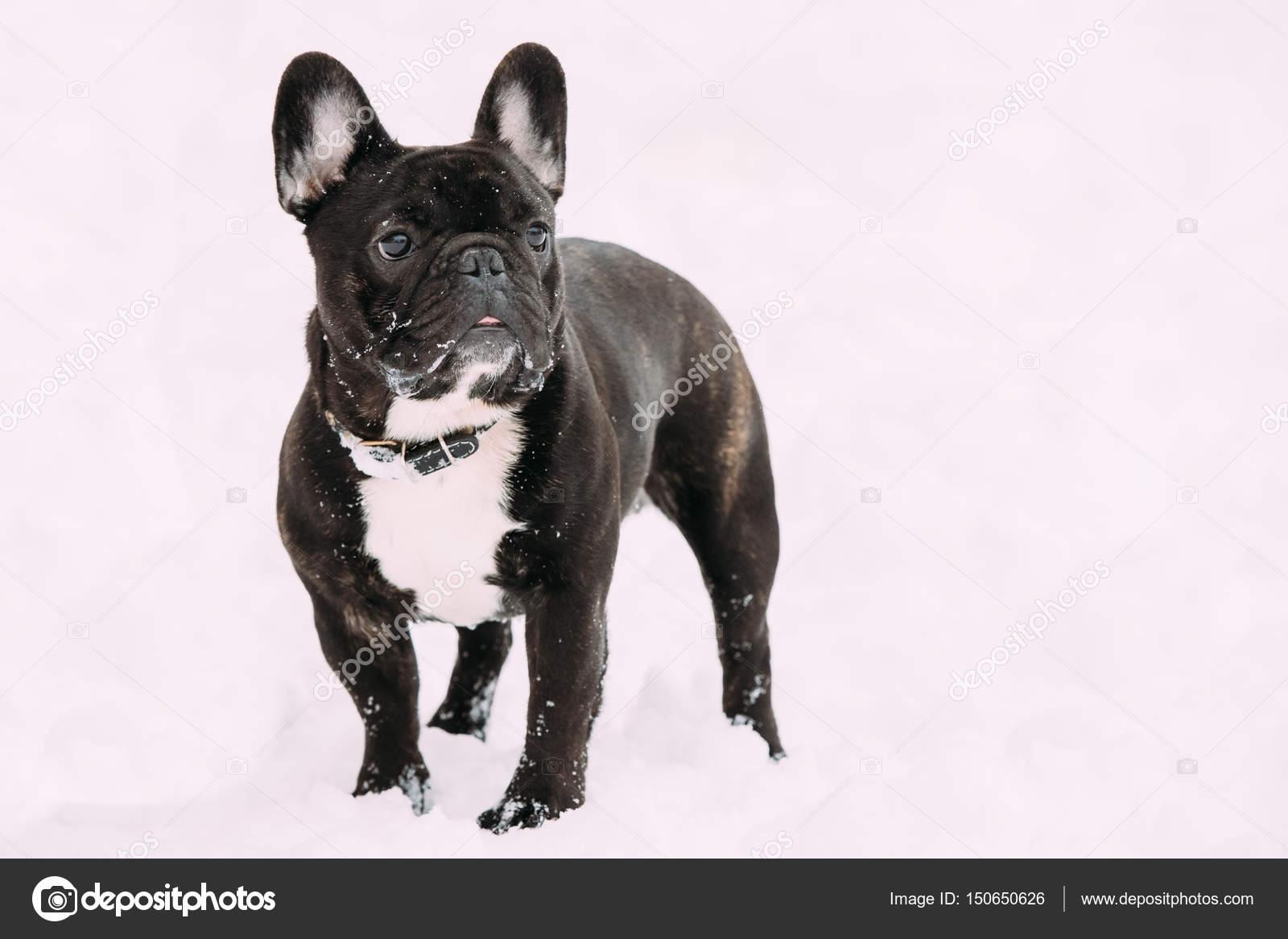 Bulldog Francese Neri Cane Che Giocano Allaperto Nella Neve Al