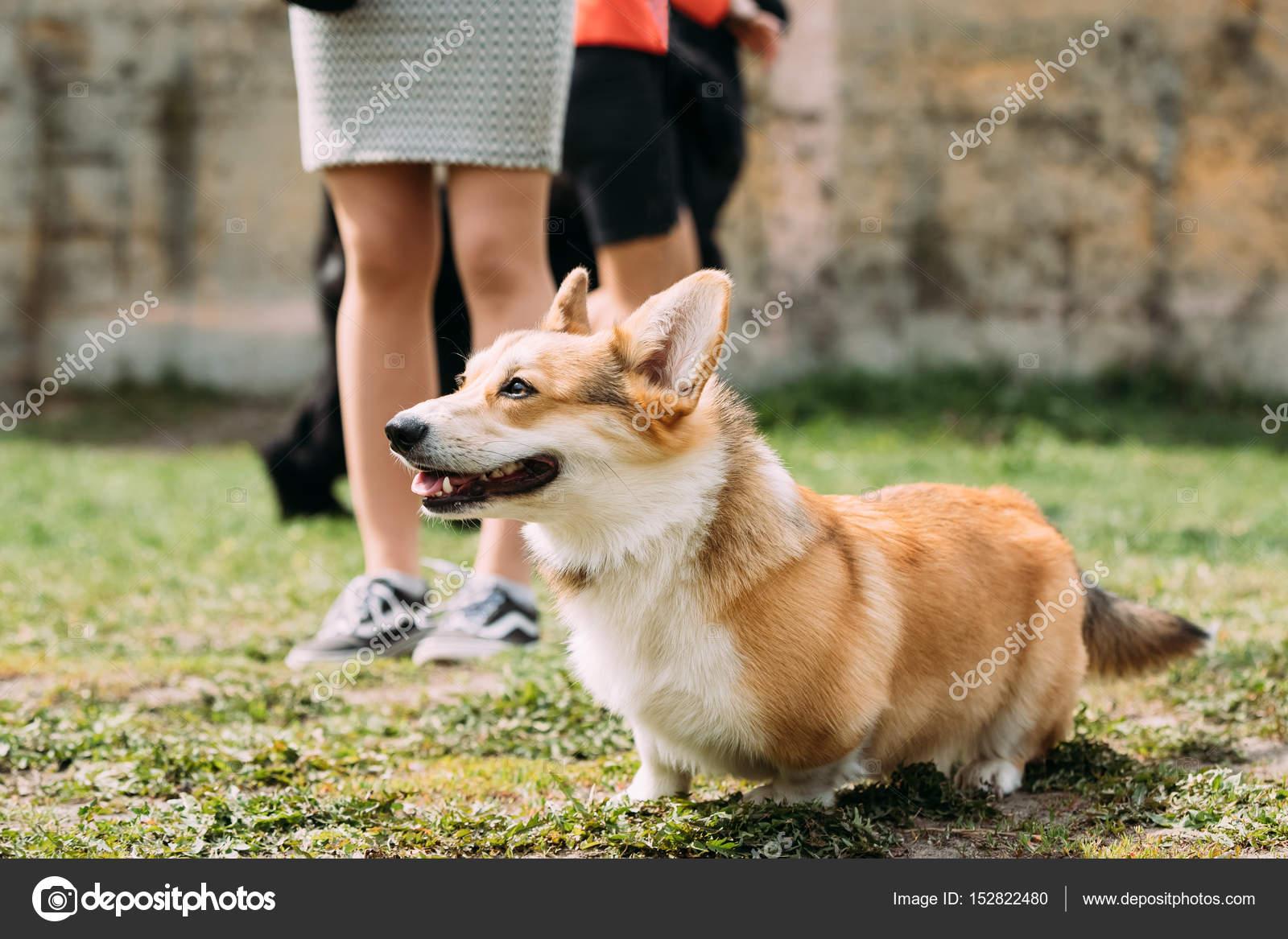 Masywnie Pies Welsh Corgi Pembroke jest mały typu pasterski pies, który IQ01