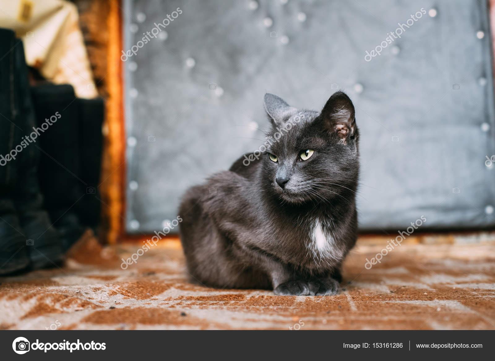 Russian Blue Cat Kitten Resting Porch An Old Village Rustic