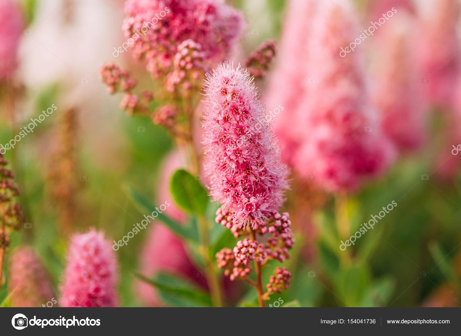 Pink Spirea Flowers On Bush At Spring Garden Stock Photo Ryhor