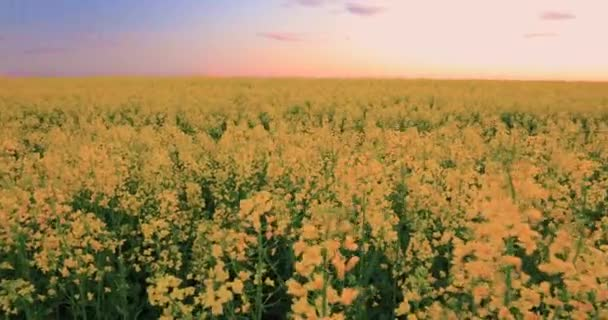 Slunce svítilo na západ slunce východ slunce nad obzorem jarní kvetoucí řepka, řepka, řepky olejné pole luční trávy. Květu řepky žluté květiny pod dramatické jitřní oblohy ve venkovské krajině