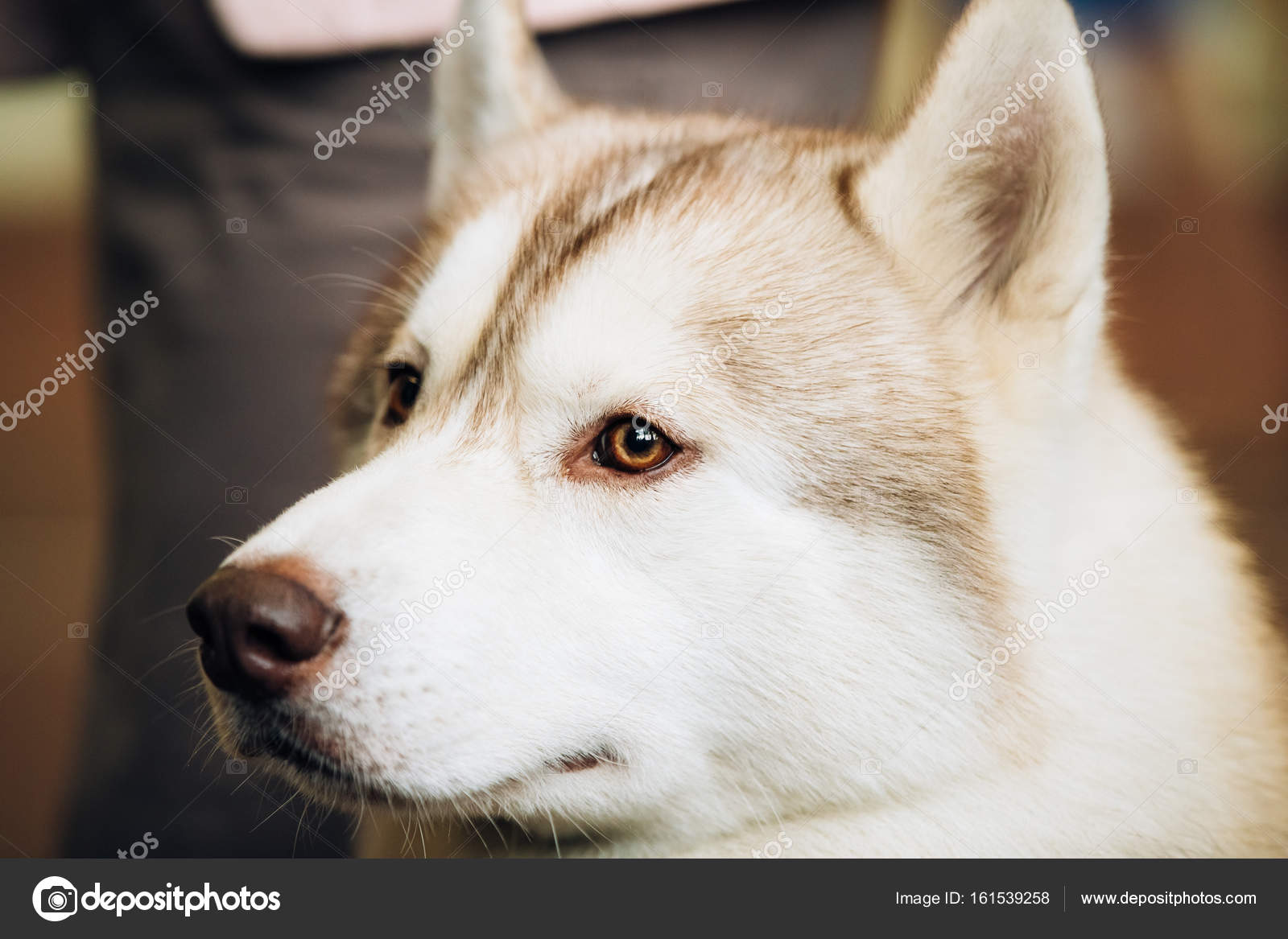 Red Adult Siberian Husky Dog Close Up Portrait Stock Photo C Ryhor