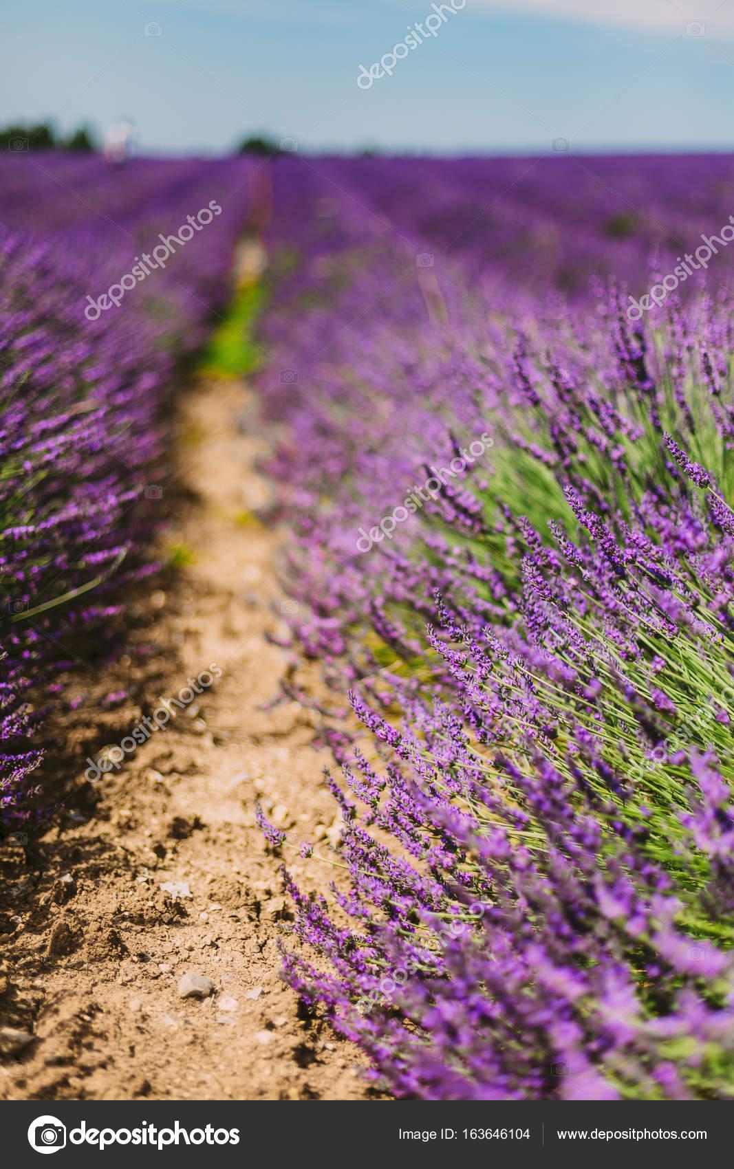när blommar lavendel i provence