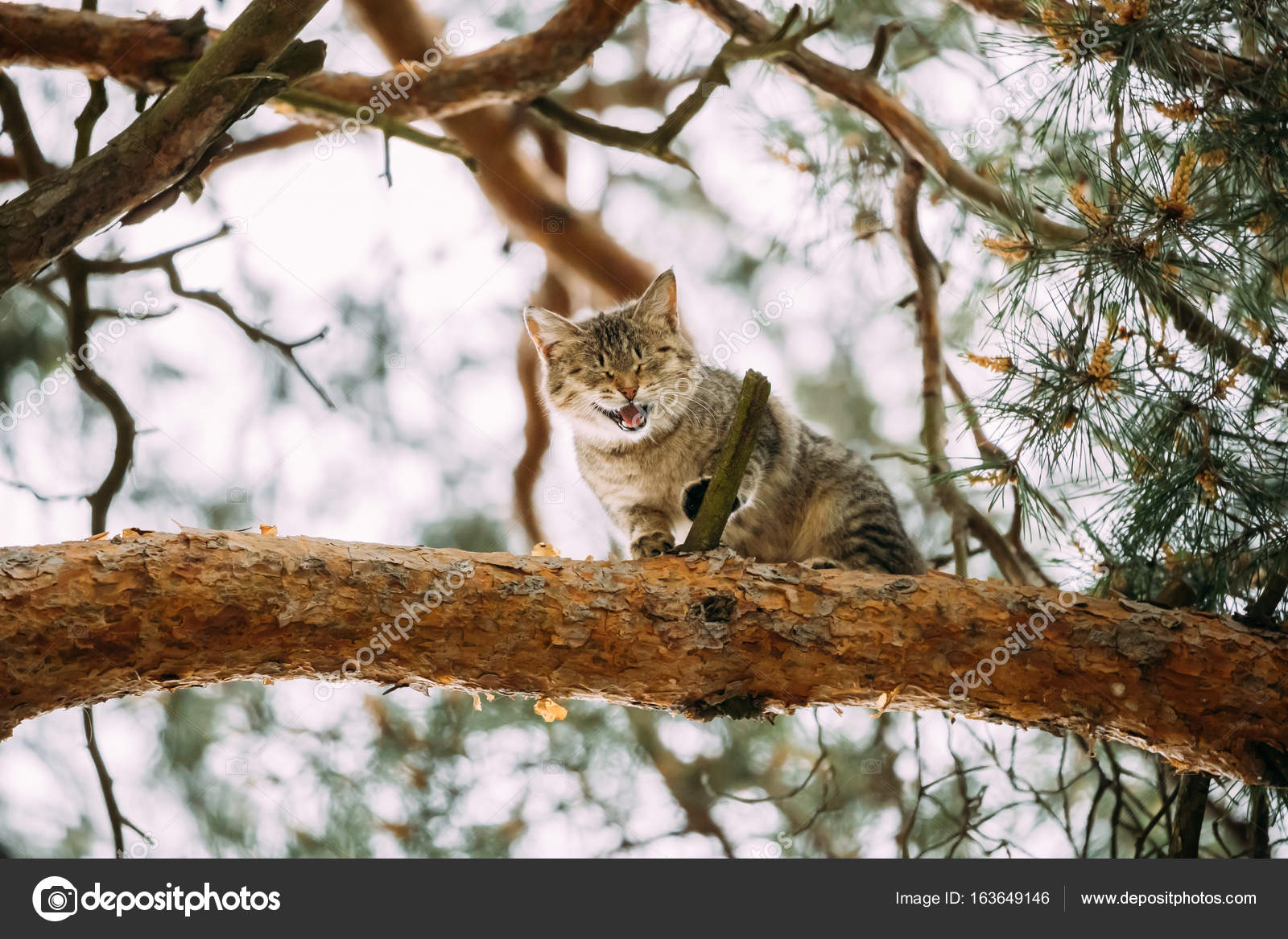Gritando aullando gato adulto en una temporada de primavera de rama ...