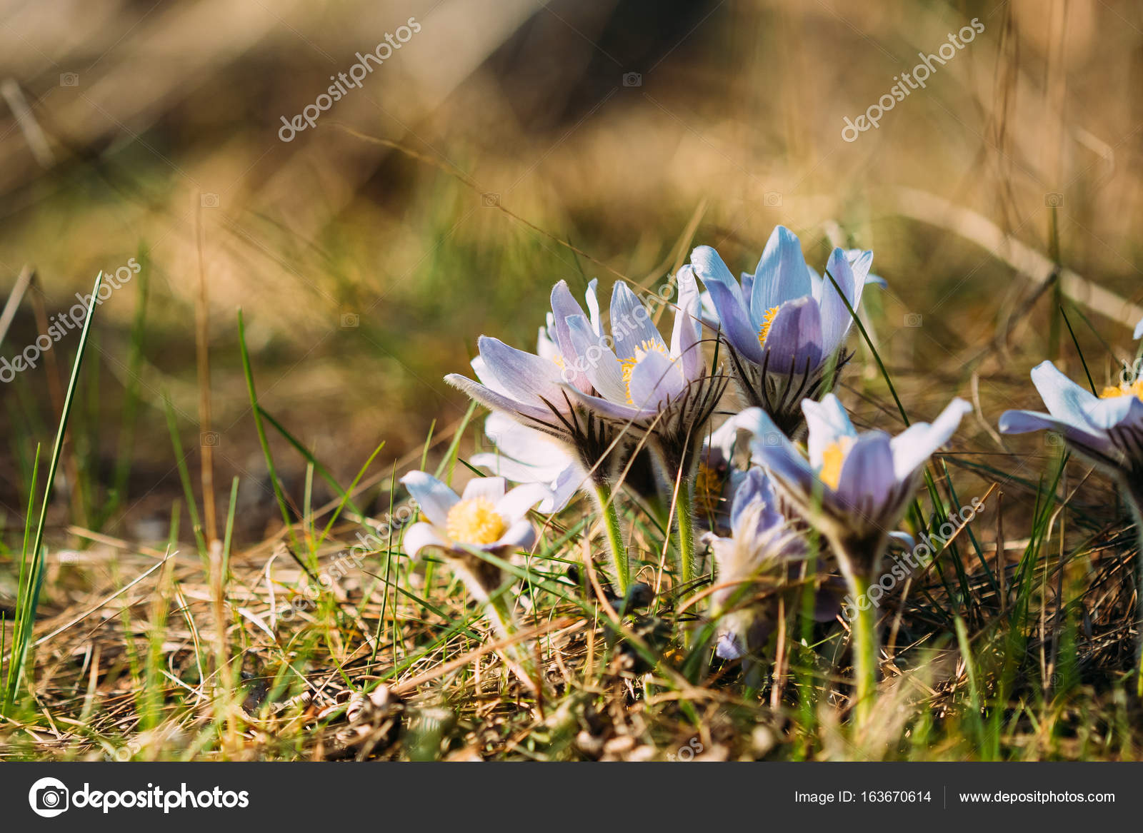 Wild Spring Flowers Pulsatilla Patens Flowering Blooming Plant