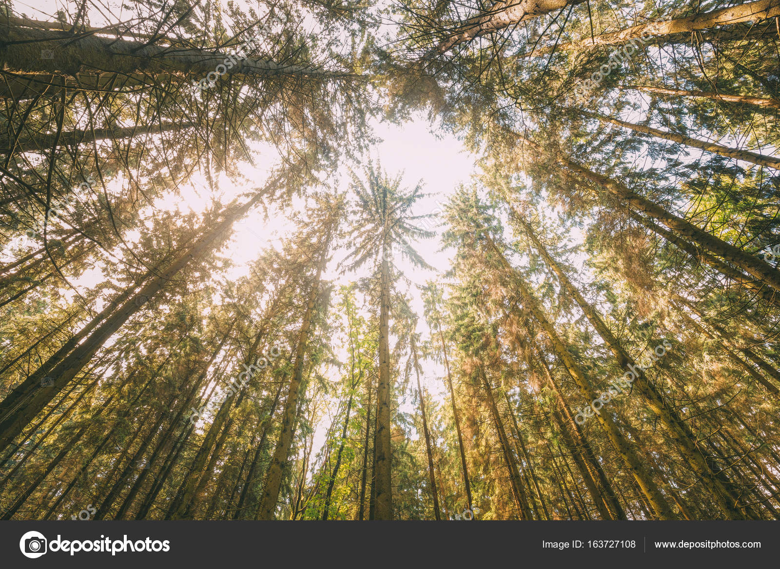 Autumn Pine Coniferous Forest Trees Woods To Canopy. Bottom View Wide Angle Background. u2014 & Autumn Pine Coniferous Forest Trees Woods To Canopy. Bottom View ...