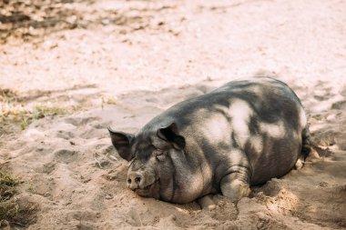 Household Pig Enjoys Relaxing In Dirt Lying In Mud. Large Black