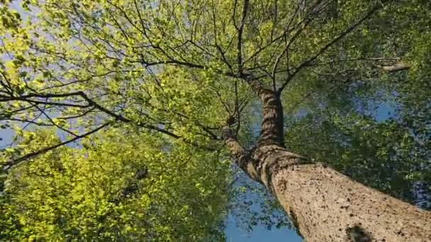 Spring Canopy Of Tall Tree. Deciduous Forest, Summer Nature At Sunny Day. Upper Branches Of Tree With Fresh Green Foliage. Low Angle View. Looking Up Woods. Greenery, Green Color