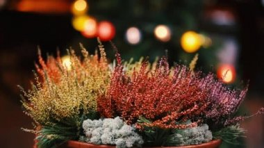 Bush Of Yellow And Red Colors Calluna Plants In Pots In Garden