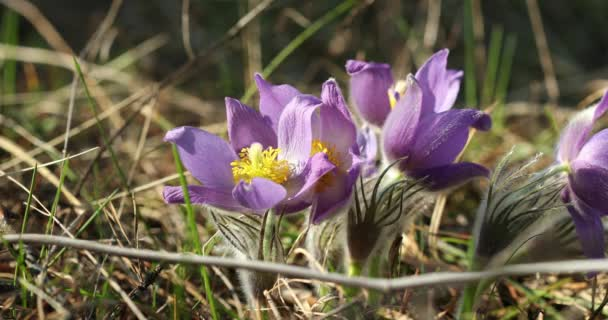 Wild spring flowers pulsatilla patens flowering plant in family wild spring flowers pulsatilla patens flowering plant in family ranunculaceae native to europe mightylinksfo