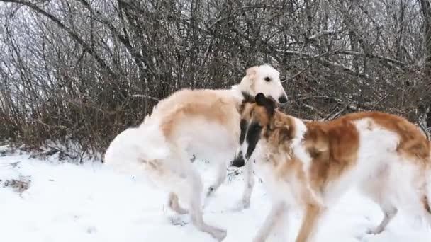 Levriero russo due caccia Sighthound Russkaya Psov