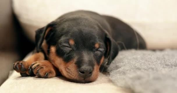 Small Black Miniature Pinscher Zwergpinscher Min Pin Puppy Dog