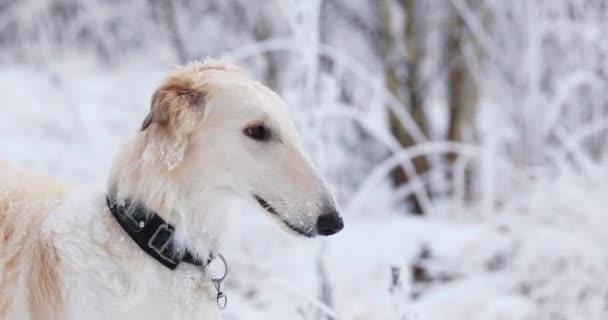 Levriero russo caccia Sighthound Russkaya Psovaya Borzaya fare