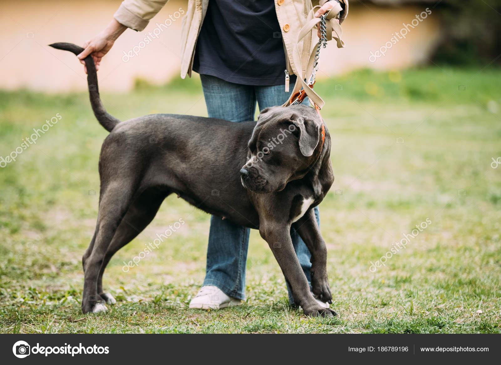 Cachorro De Buldogue Americano Preto E Branco Em Pé Perto De Mulher