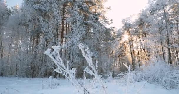 Gyönyörű naplemente Napfelkelte Napsütés Napsütés Napos téli havas tűlevelű erdőben. Pan, Panoráma