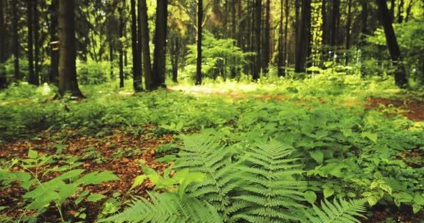 Krásné kapradiny listy zelené listí v létě jehličnatého lesa. Zelené kapradí keře mezi lesy, stromy