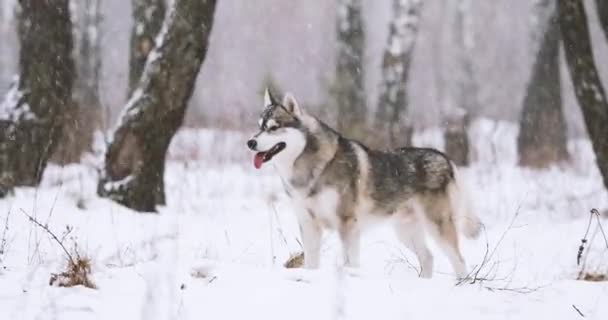 Mladí sibiřský Husky pes běží venkovní v zimě Snowy Forest