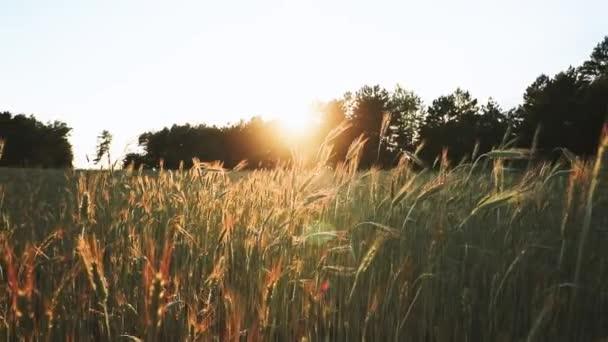 Sommersonne scheint über der Agrarlandschaft des grünen Weizenfeldes. Junger grüner Weizen in der Morgendämmerung. Juni-Monat