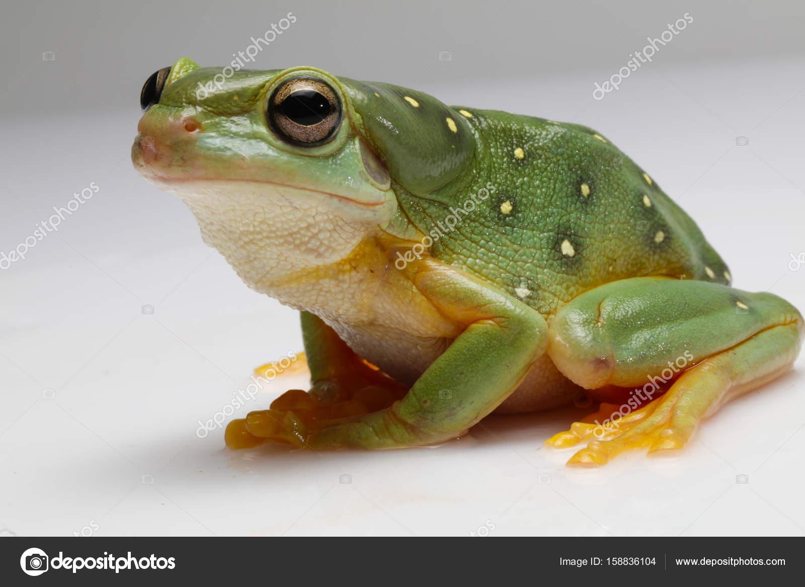 Rana verde con puntos blancos — Foto de stock © sellphoto1 #158836104
