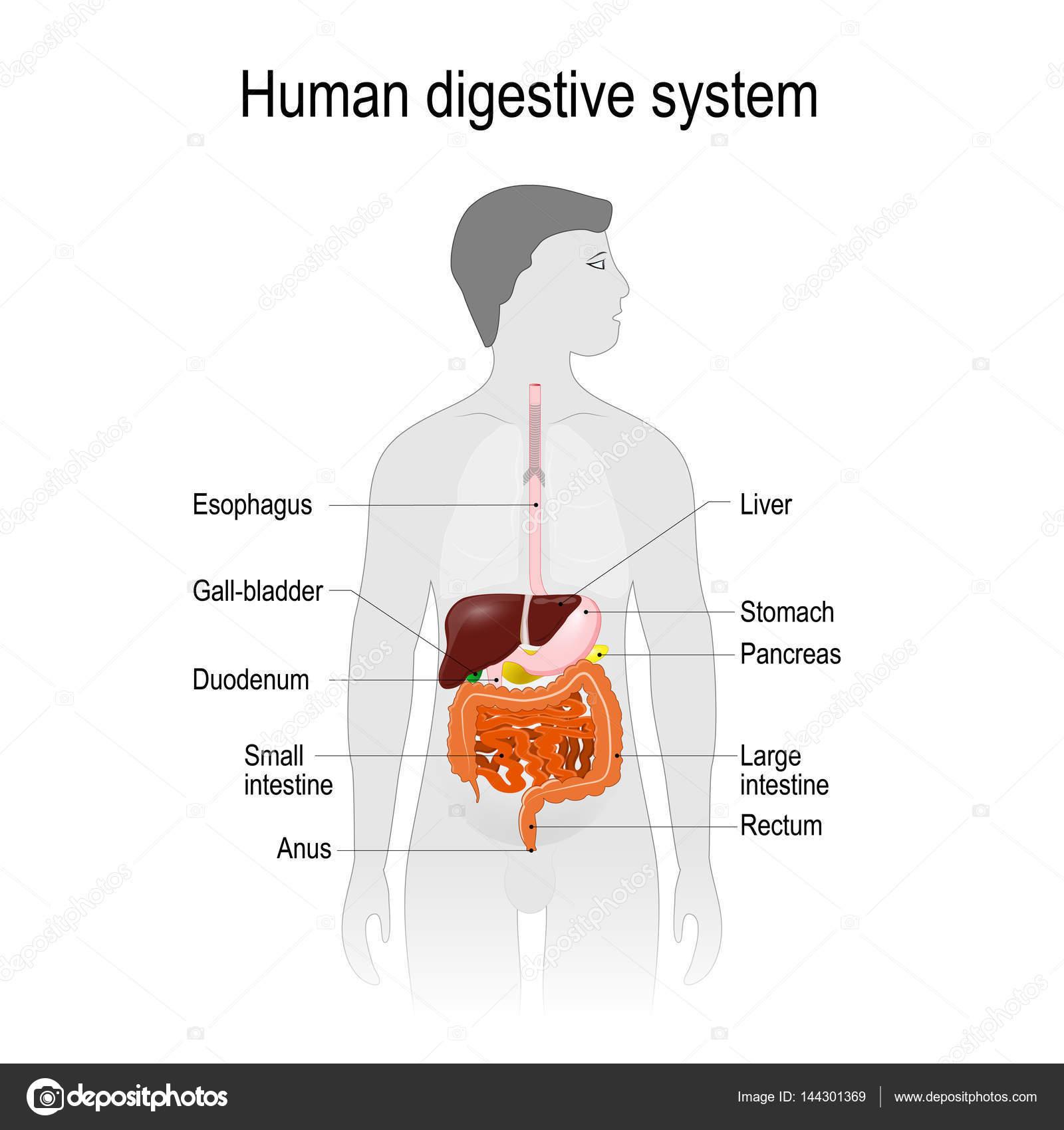 die Lage des Verdauungssystems in den menschlichen Körper ...