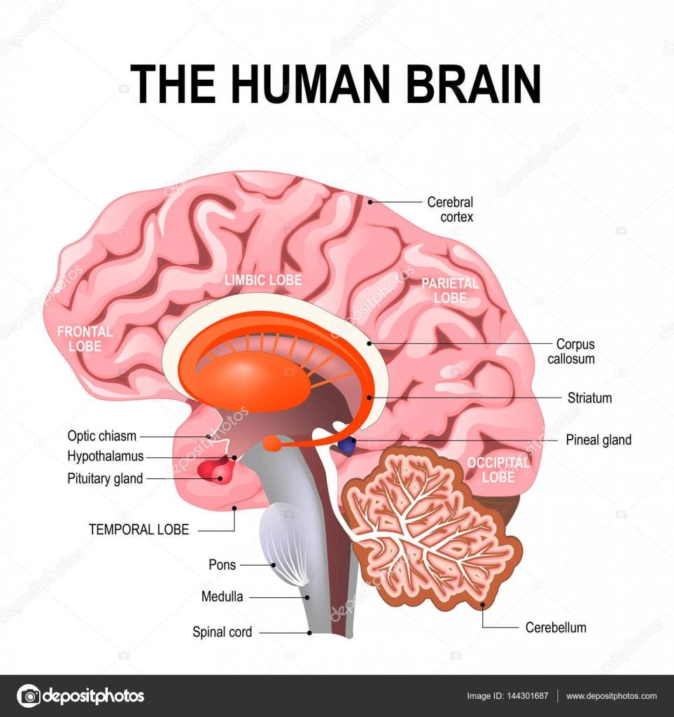 Anatomía detallada del cerebro humano — Vector de stock © edesignua ...