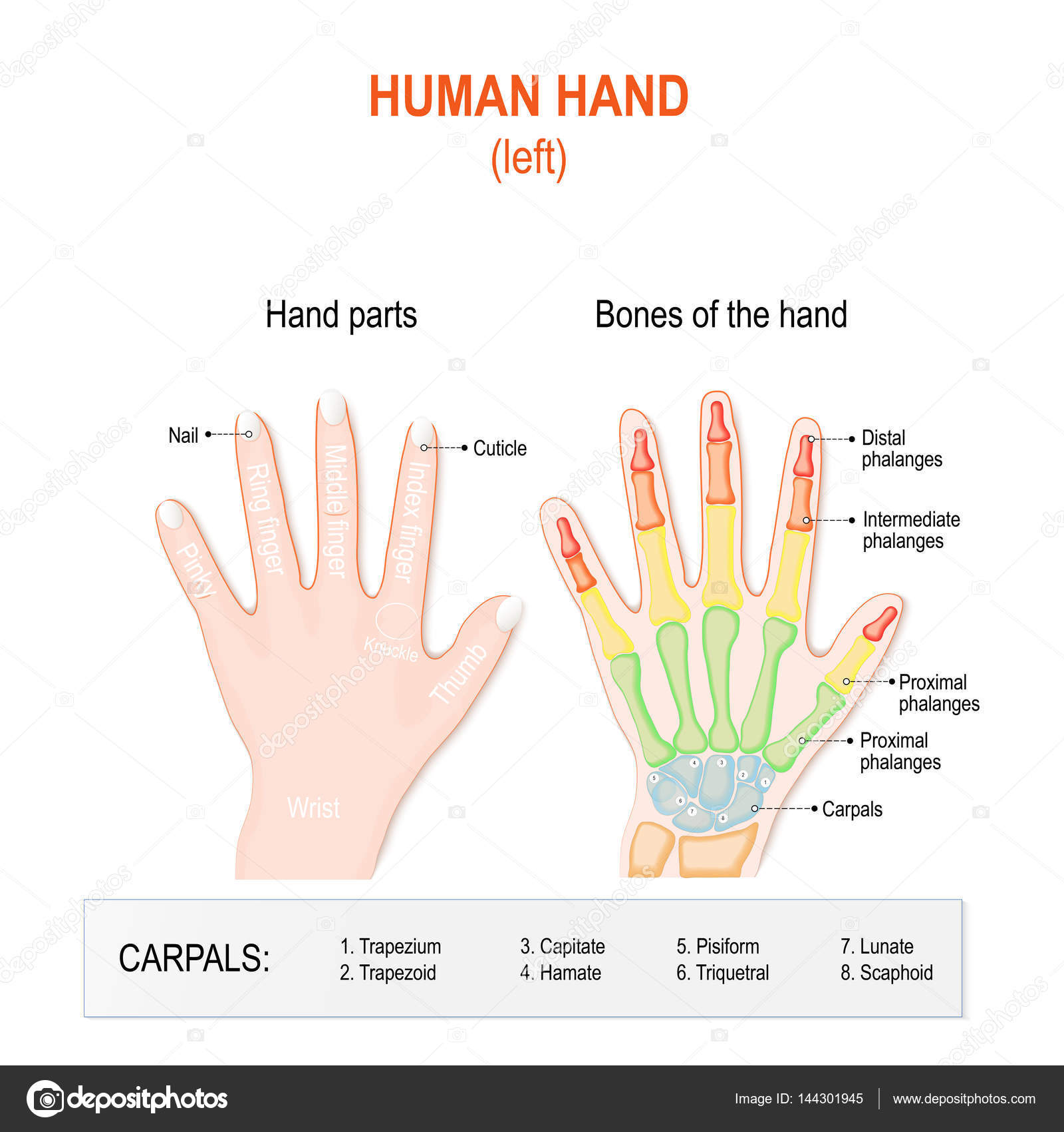 skelet van de hand